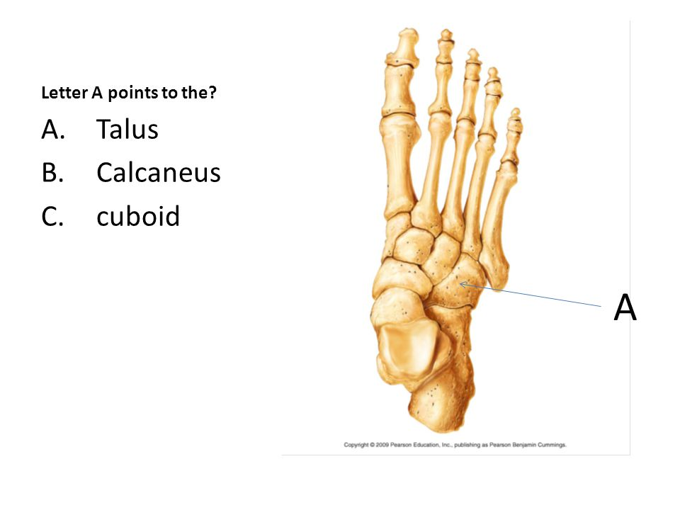 Letter A points to the A.Talus B.Calcaneus C.cuboid A