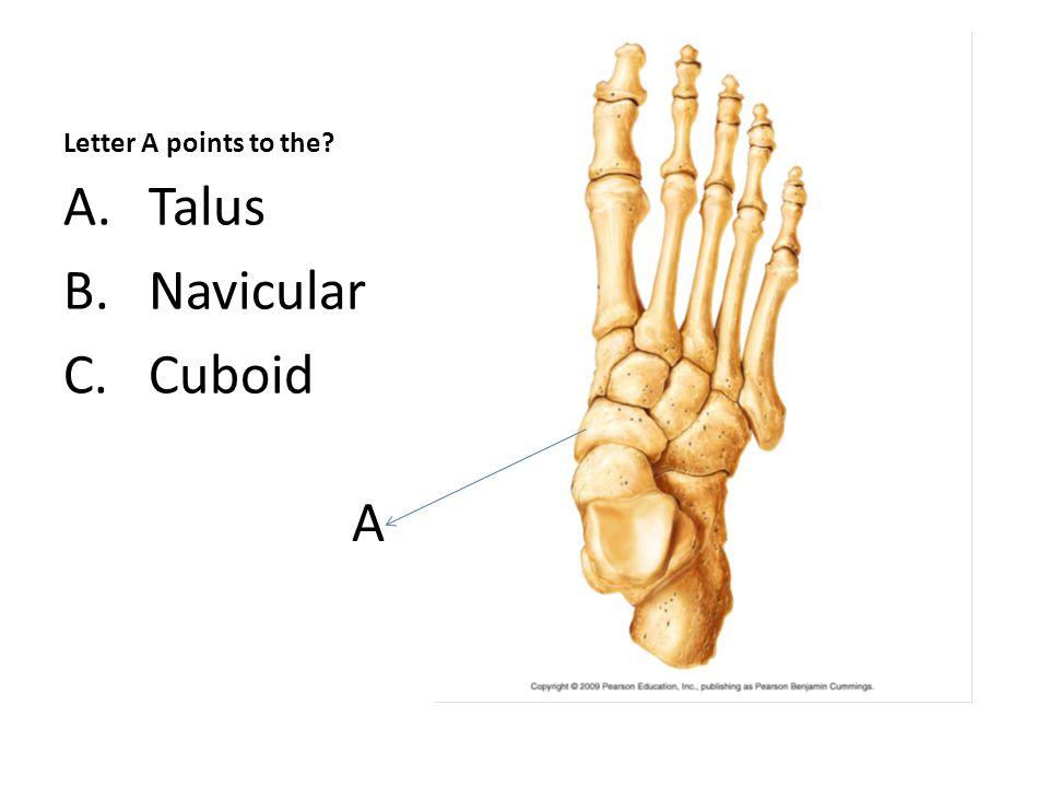 C, Tibial Tuberosity
