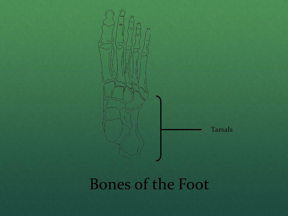 Bones of the Foot Tarsals