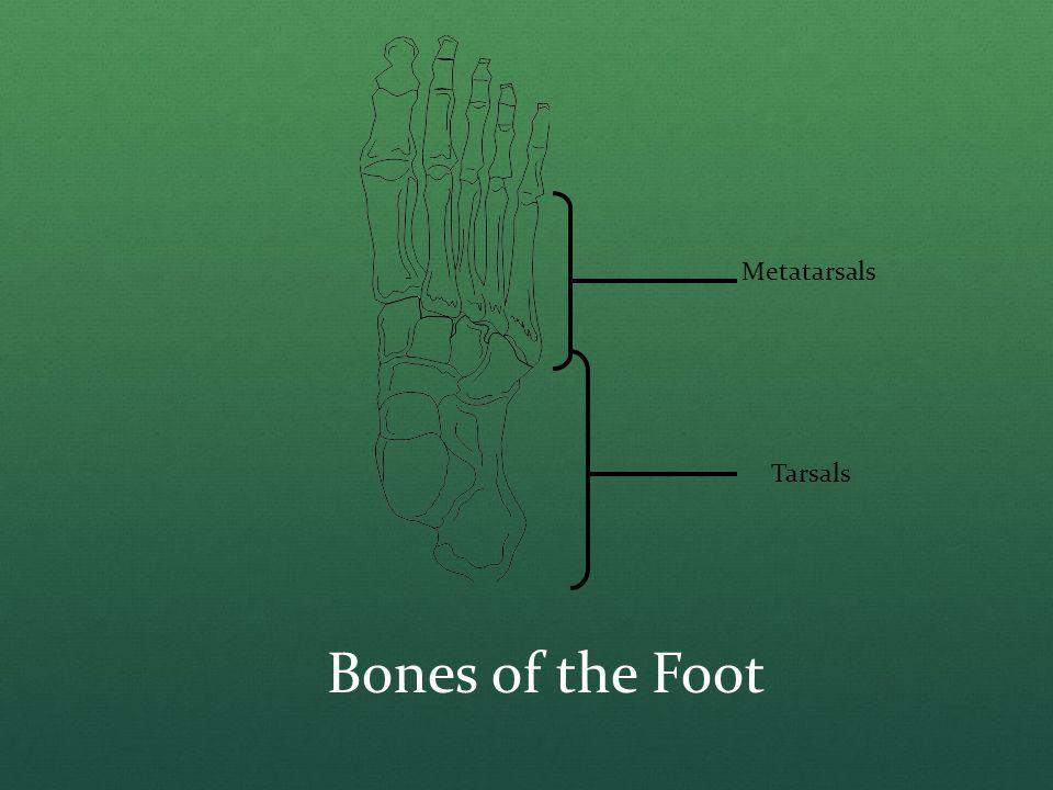 Bones of the Foot Metatarsals Tarsals