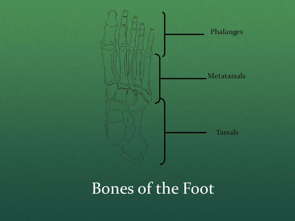 Bones of the Foot Phalanges Metatarsals Tarsals