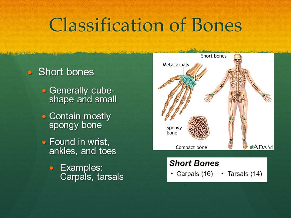 Classification of Bones  Short bones  Generally cube- shape and small  Contain mostly spongy bone  Found in wrist, ankles, and toes  Examples: Ca