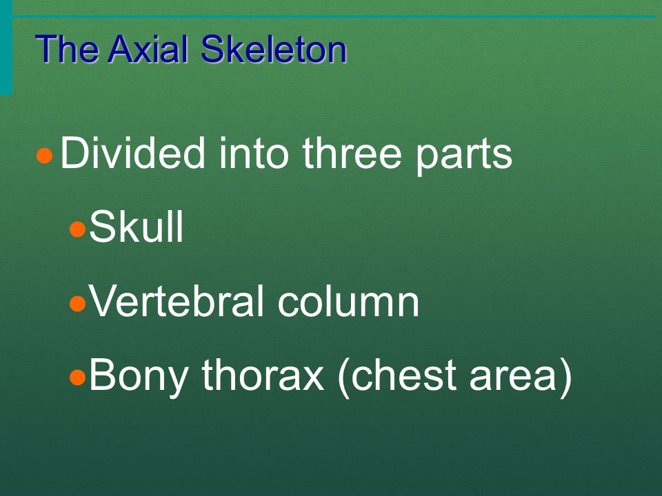 The Axial Skeleton  Divided into three parts  Skull  Vertebral column  Bony thorax (chest area)