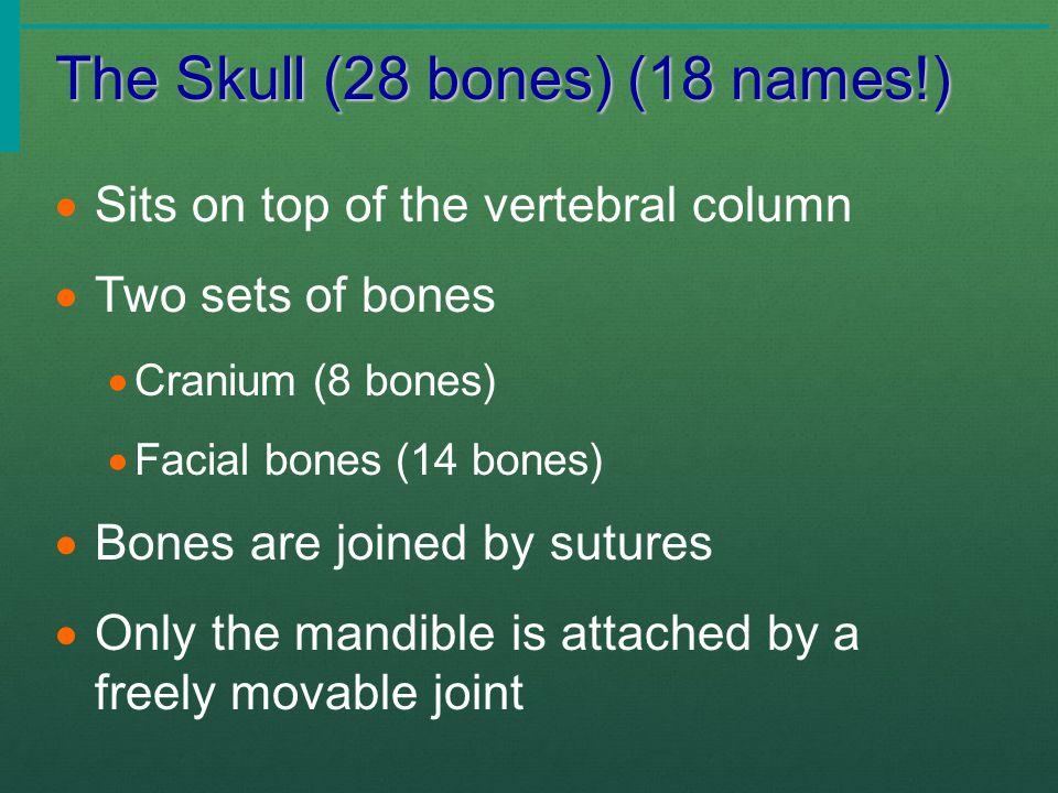 The Skull (28 bones) (18 names!)  Sits on top of the vertebral column  Two sets of bones  Cranium (8 bones)  Facial bones (14 bones)  Bones are j