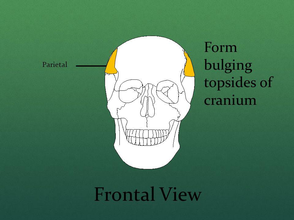 Parietal Frontal View Form bulging topsides of cranium