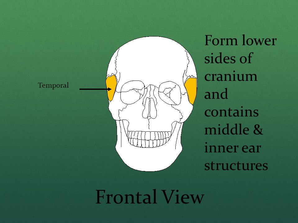 Temporal Frontal View Form lower sides of cranium and contains middle & inner ear structures