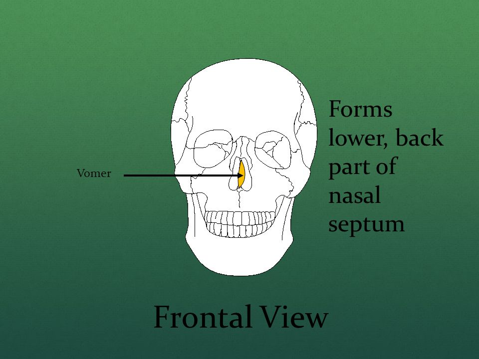 Vomer Frontal View Forms lower, back part of nasal septum
