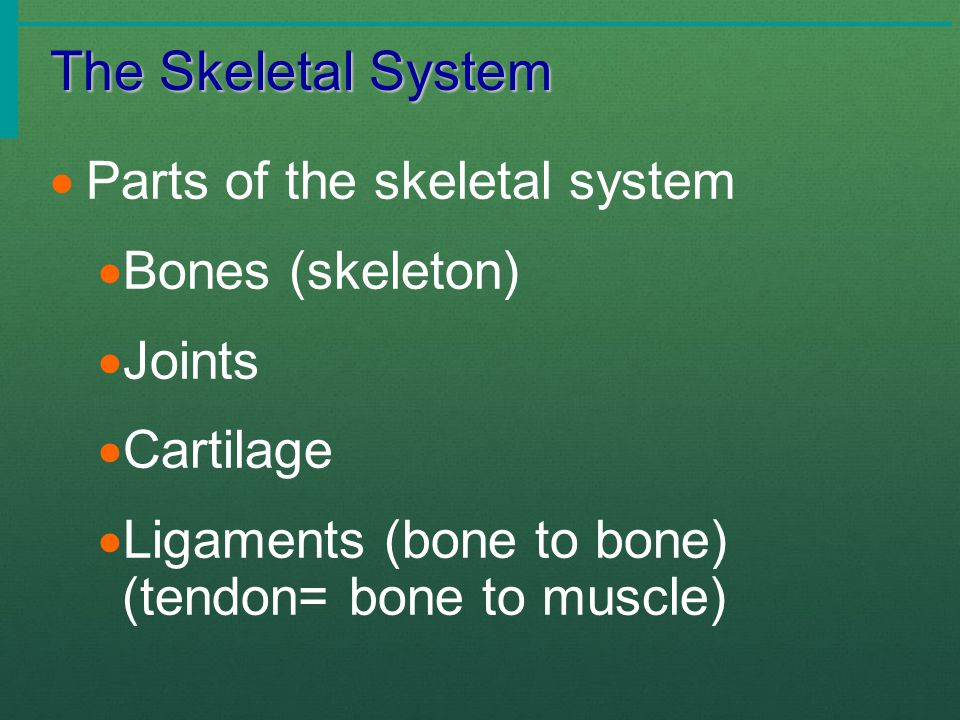 The Skeletal System Skeleton comes from a Greek word meaning dried up body.