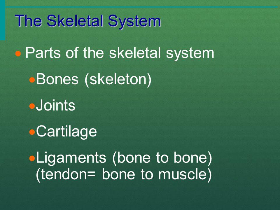 The Skeletal System  Parts of the skeletal system  Bones (skeleton)  Joints  Cartilage  Ligaments (bone to bone) (tendon= bone to muscle)