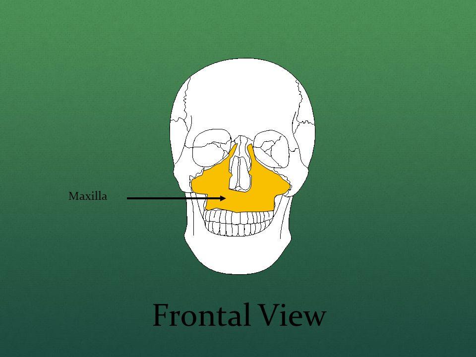 Maxilla Frontal View