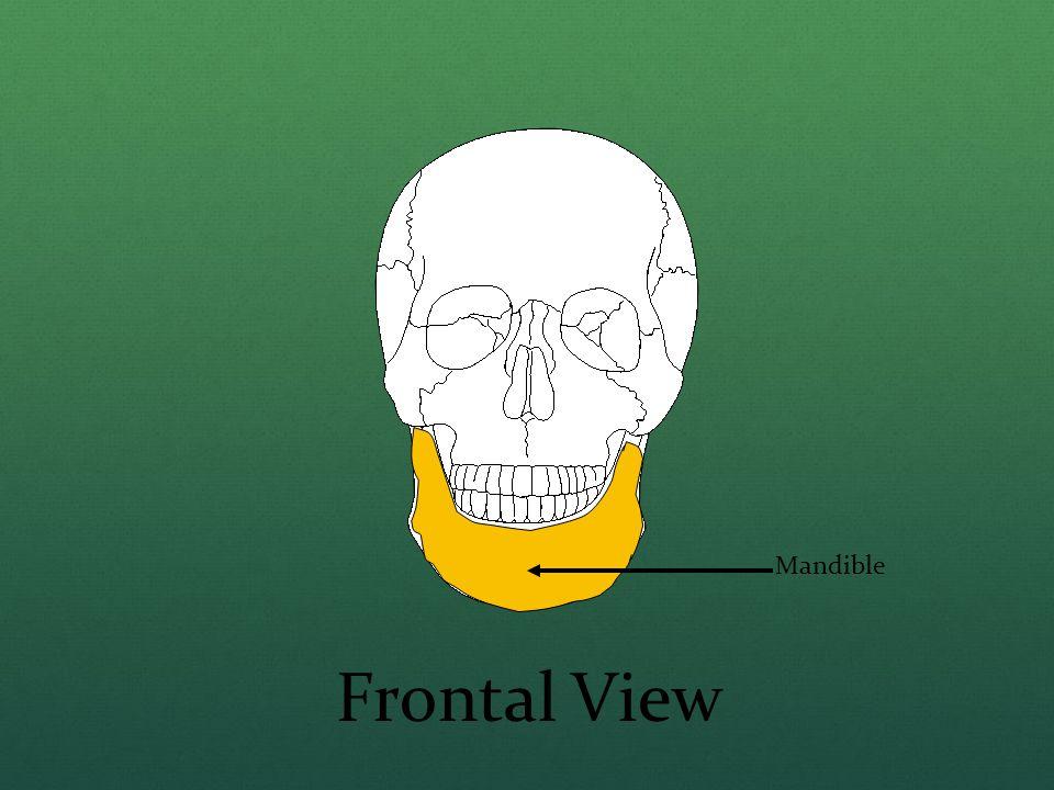 Mandible Frontal View