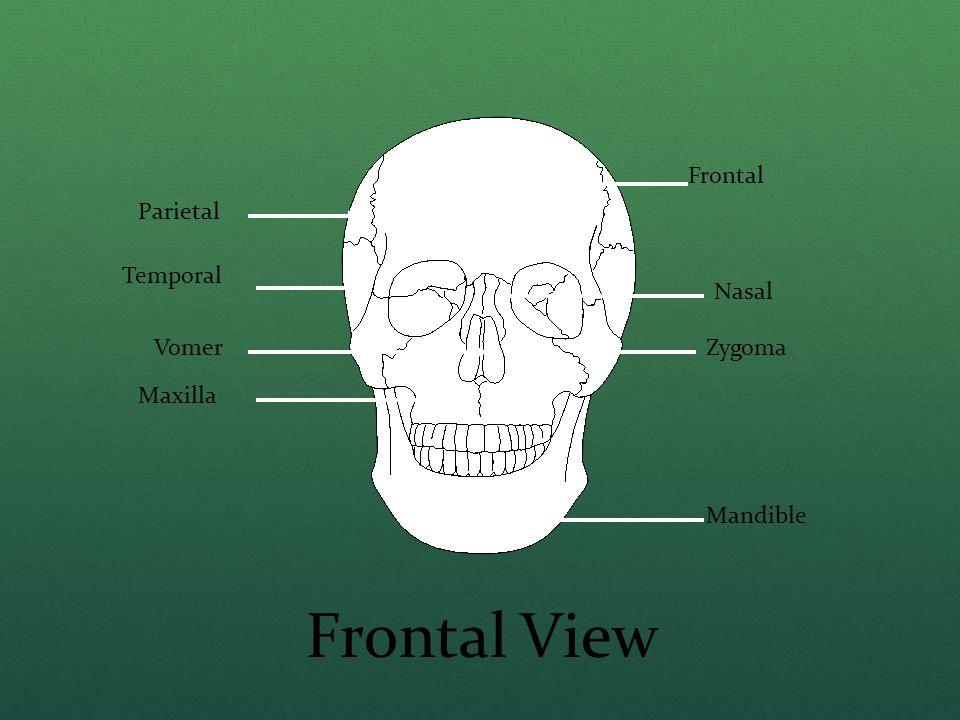Frontal Parietal Temporal Zygoma Nasal Vomer Maxilla Mandible Frontal View