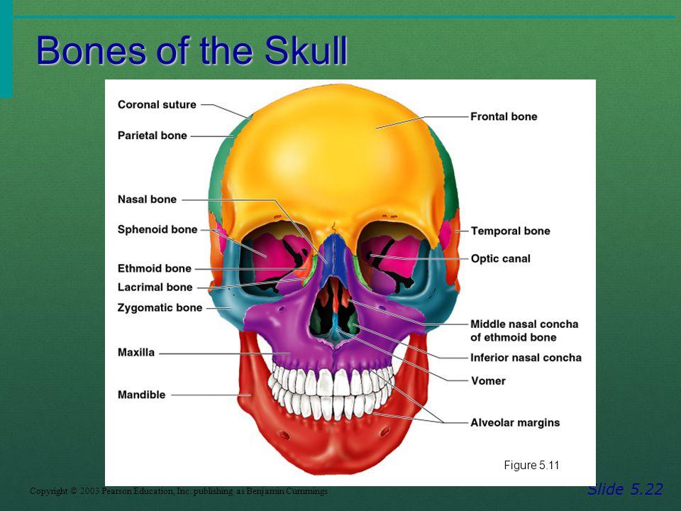 Bones of the Skull Slide 5.22 Copyright © 2003 Pearson Education, Inc. publishing as Benjamin Cummings Figure 5.11