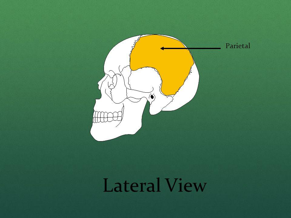 Parietal Lateral View