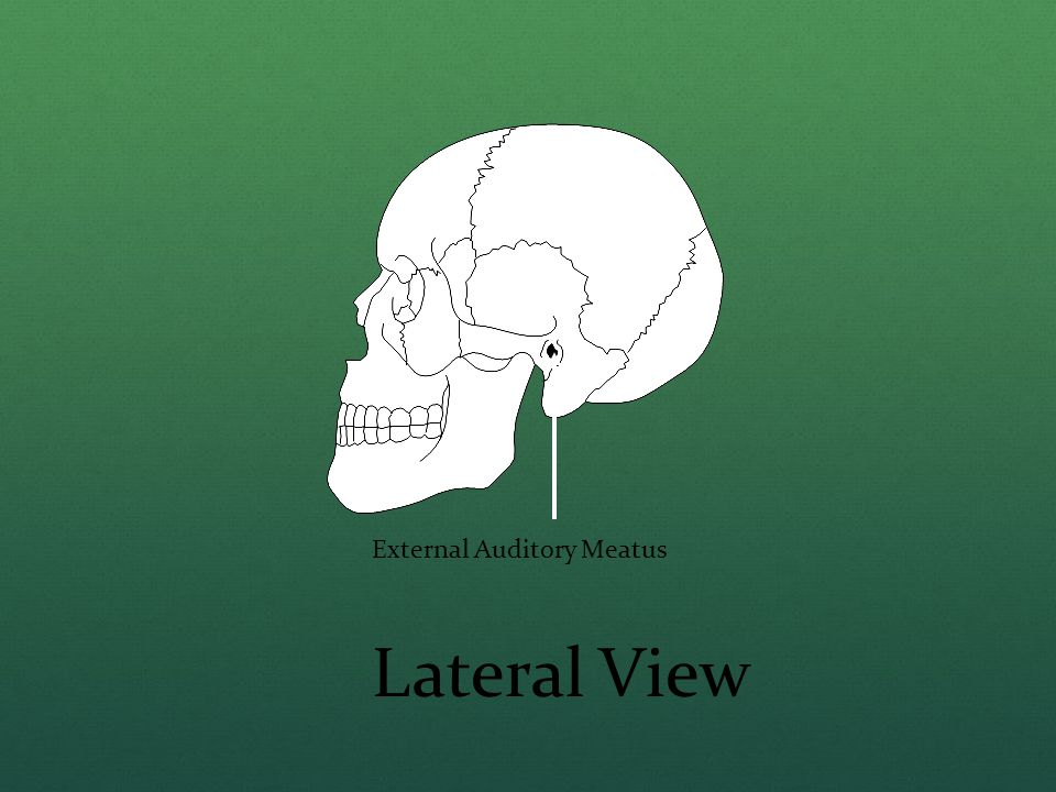 External Auditory Meatus Lateral View