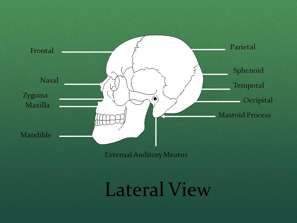 Frontal Nasal Zygoma Maxilla Mandible Parietal Sphenoid Temporal Occipital External Auditory Meatus Mastoid Process Lateral View