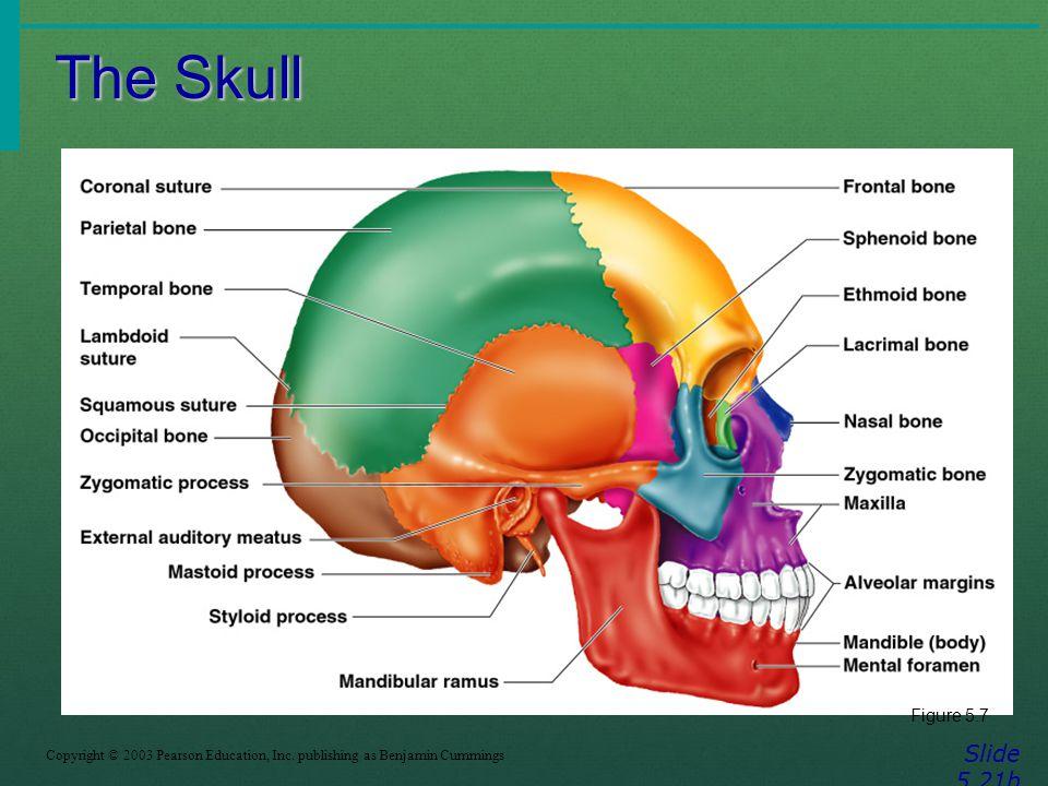 The Skull Slide 5.21b Copyright © 2003 Pearson Education, Inc. publishing as Benjamin Cummings Figure 5.7
