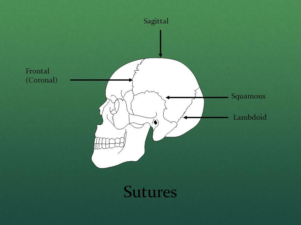 Frontal (Coronal) Sagittal Squamous Lambdoid Sutures