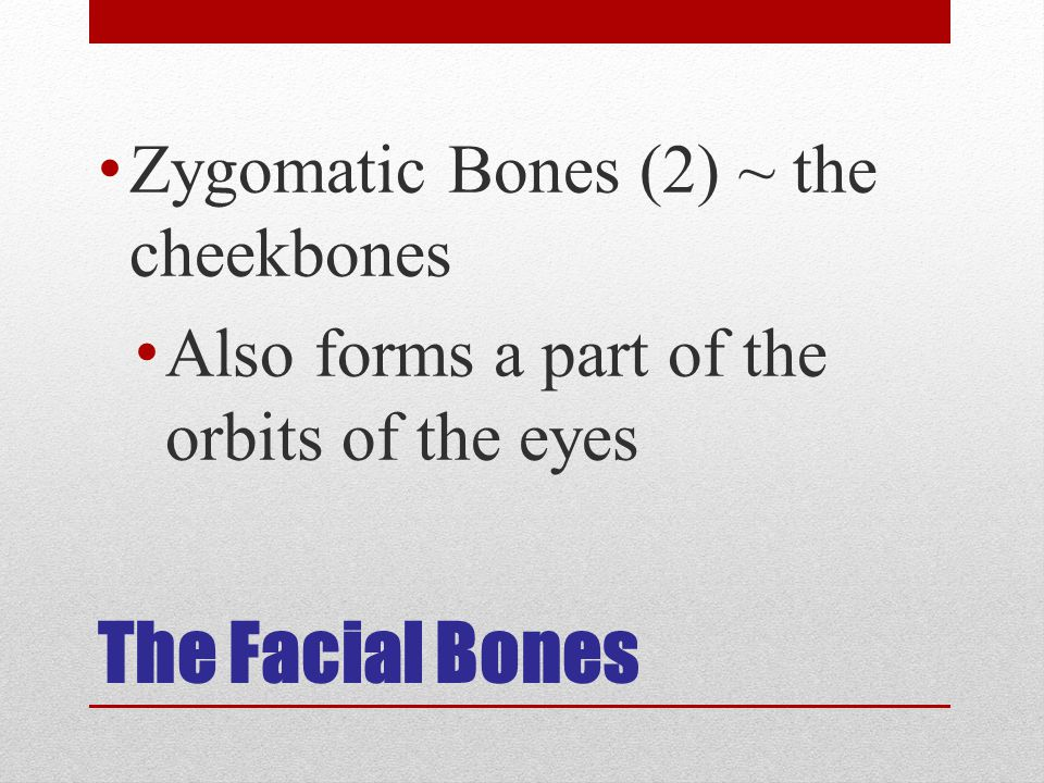 The Facial Bones Zygomatic Bones (2) ~ the cheekbones Also forms a part of the orbits of the eyes