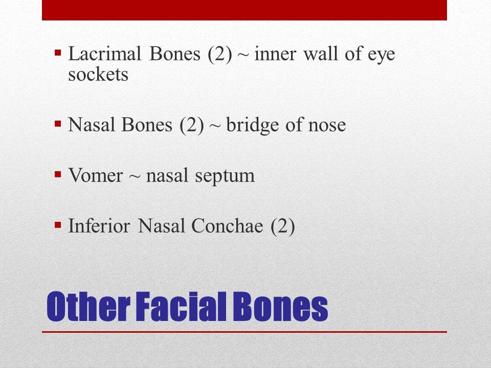 Other Facial Bones  Lacrimal Bones (2) ~ inner wall of eye sockets  Nasal Bones (2) ~ bridge of nose  Vomer ~ nasal septum  Inferior Nasal Conchae