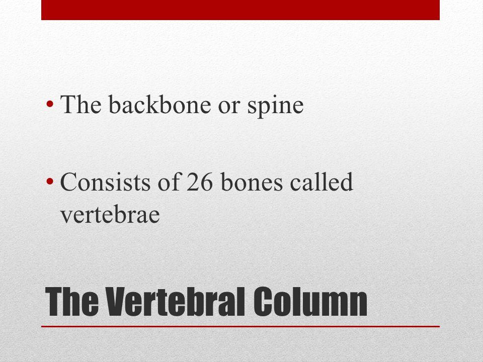 The Vertebral Column The backbone or spine Consists of 26 bones called vertebrae