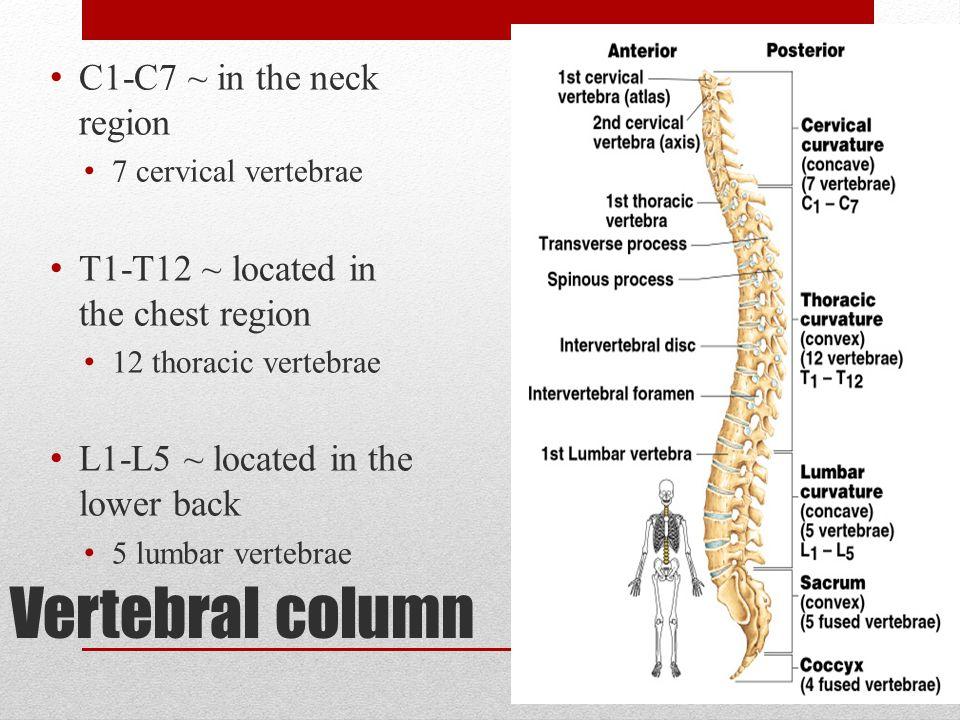 Vertebral column C1-C7 ~ in the neck region 7 cervical vertebrae T1-T12 ~ located in the chest region 12 thoracic vertebrae L1-L5 ~ located in the low