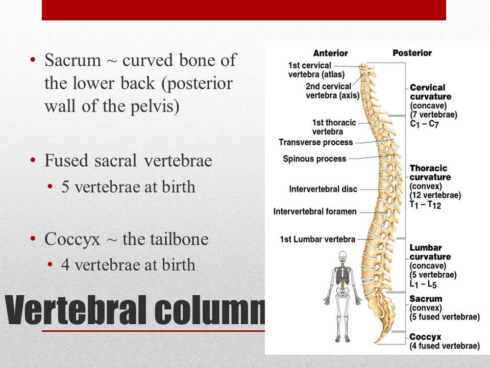 Vertebral column Sacrum ~ curved bone of the lower back (posterior wall of the pelvis) Fused sacral vertebrae 5 vertebrae at birth Coccyx ~ the tailbo