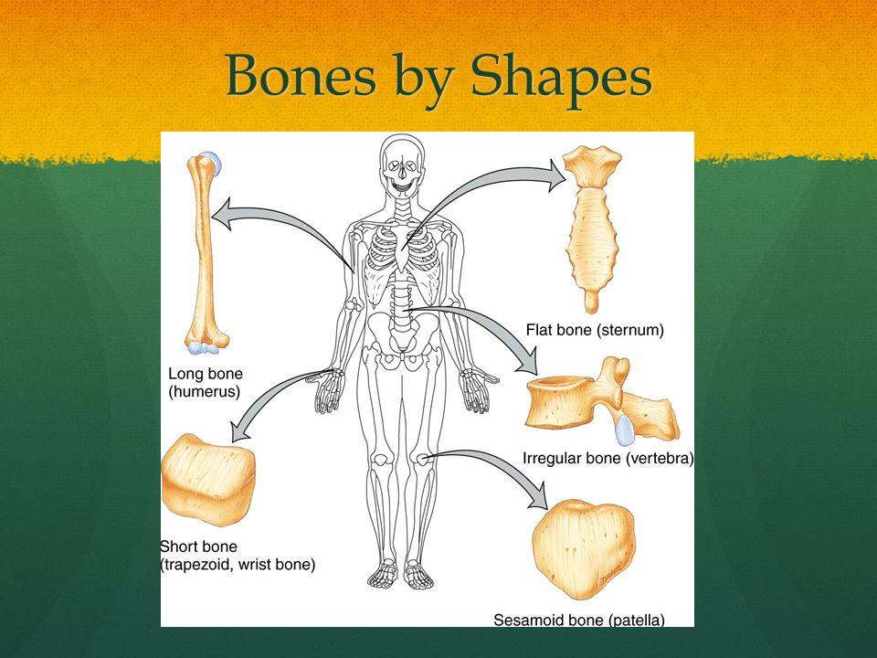 Carpals Bones of the Hand