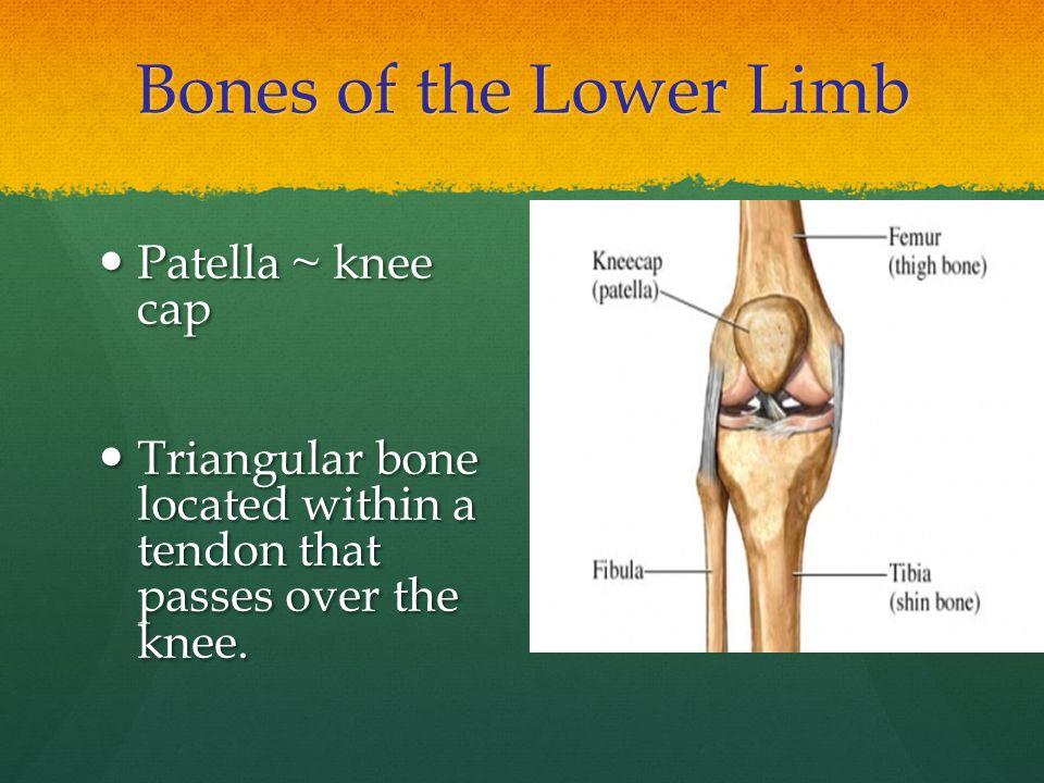 Bones of the Lower Limb Patella ~ knee cap Patella ~ knee cap Triangular bone located within a tendon that passes over the knee. Triangular bone locat