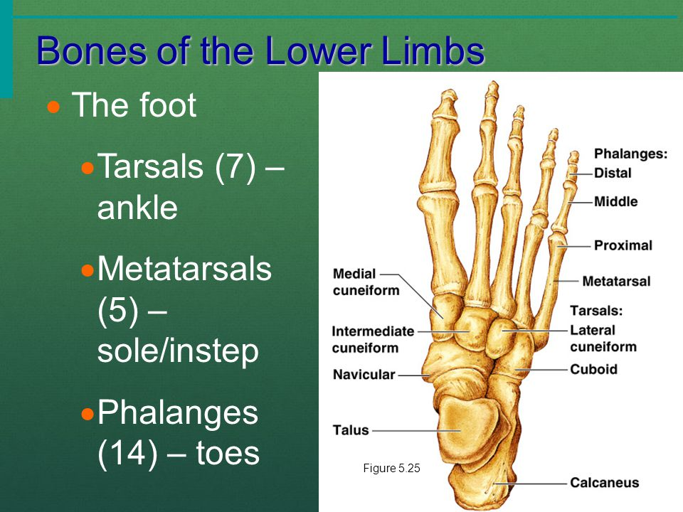 Bones of the Lower Limbs  The foot  Tarsals (7) – ankle  Metatarsals (5) – sole/instep  Phalanges (14) – toes Figure 5.25