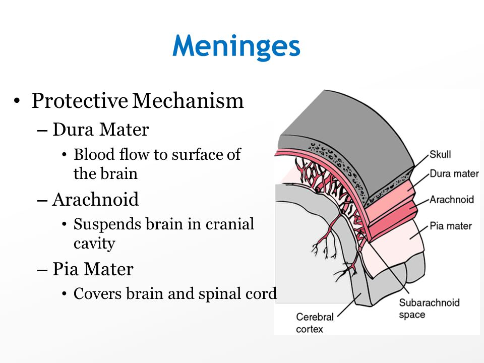 Meninges Protective Mechanism – Dura Mater Blood flow to surface of the brain – Arachnoid Suspends brain in cranial cavity – Pia Mater Covers brain an