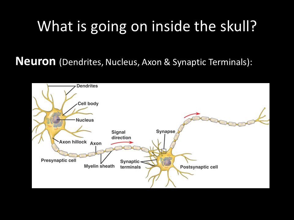 Neuron (Dendrites, Nucleus, Axon & Synaptic Terminals):