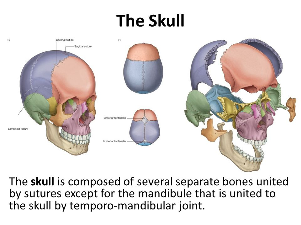 Occipital Bone Forms: Base of the skull Contents: 4 parts Landmarks: External occipital protunerance, sup & inf nuchal line, lat condyles, occipital crest, pharyngeal tubercle Foramens: Foramen Magnum, Hypoglossal, condylar canal, jugular Articulations: ?