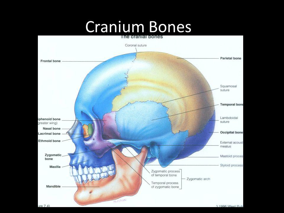 Cranium Bones