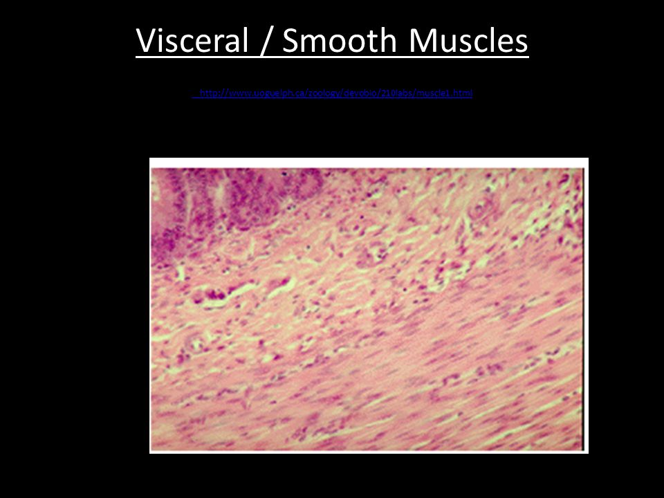 Visceral / Smooth Muscles http://www.uoguelph.ca/zoology/devobio/210labs/muscle1.html http://www.uoguelph.ca/zoology/devobio/210labs/muscle1.html