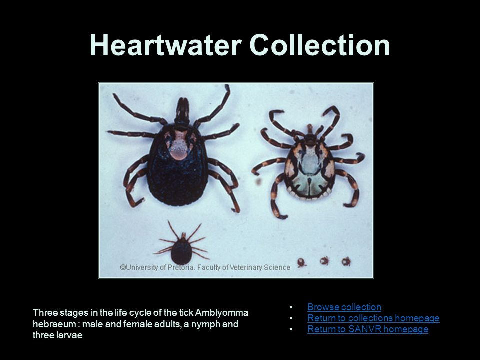 Onderstepoort Journal of Veterinary Research Browse collection Return to collections homepage Return to SANVR homepage Contents of report: Anaplasma marginale (gen.