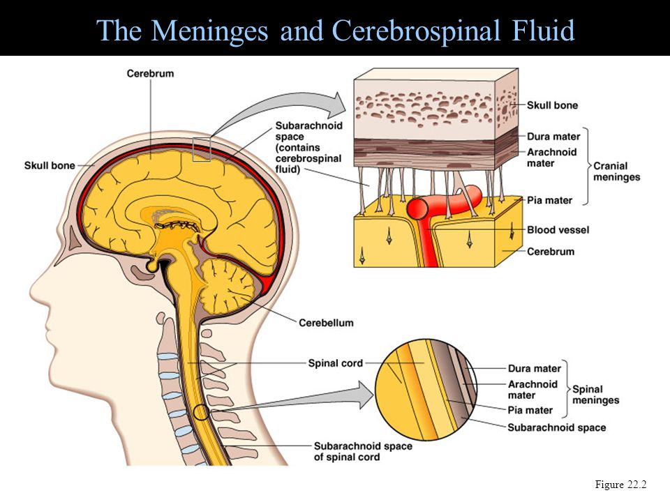 The Meninges and Cerebrospinal Fluid Figure 22.2