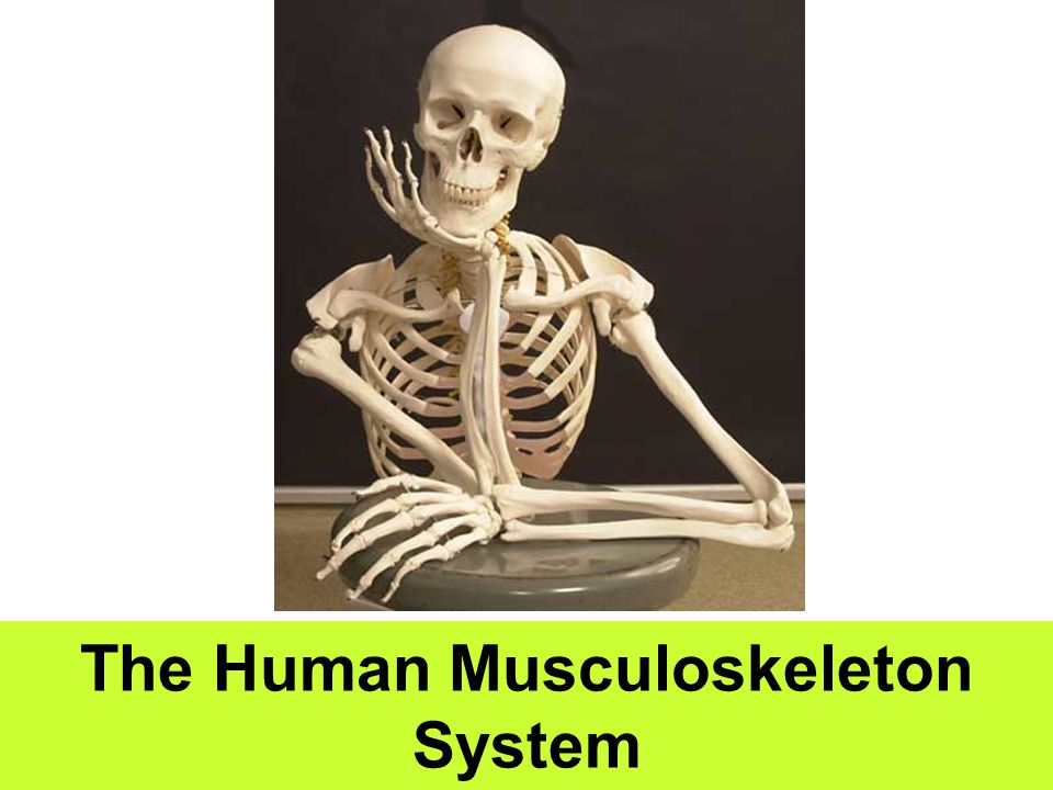 The Human Musculoskeleton System