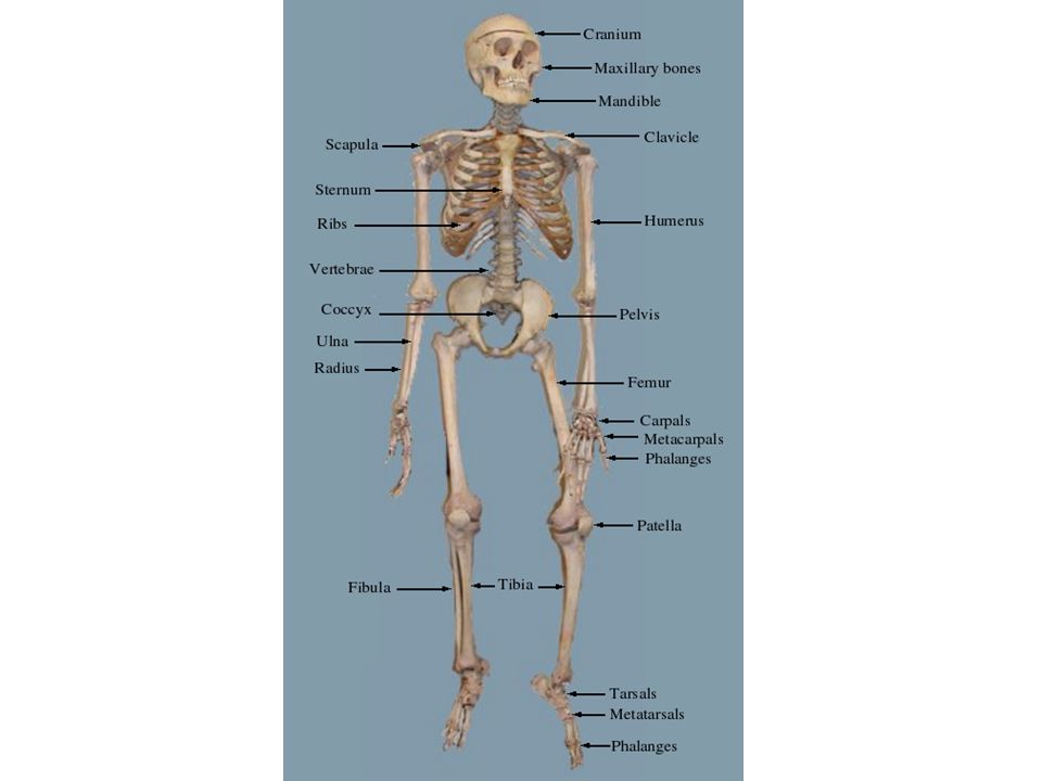 Bones and Cartilage Bone is a type of connective tissue that is hard and inflexible.