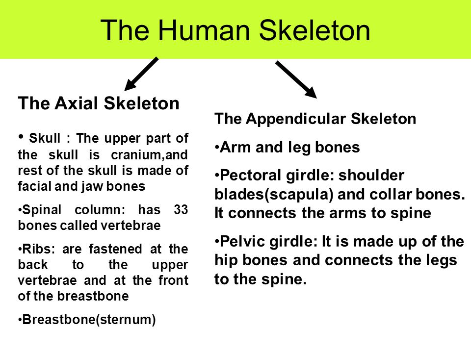 The Human Skeleton The Axial Skeleton Skull : The upper part of the skull is cranium,and rest of the skull is made of facial and jaw bones Spinal colu