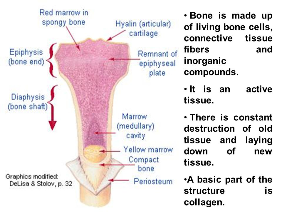 The structure of the bone The outside of a bone, except at its ends where it connects to other bones, is covered by a tough membrane called periosteum.