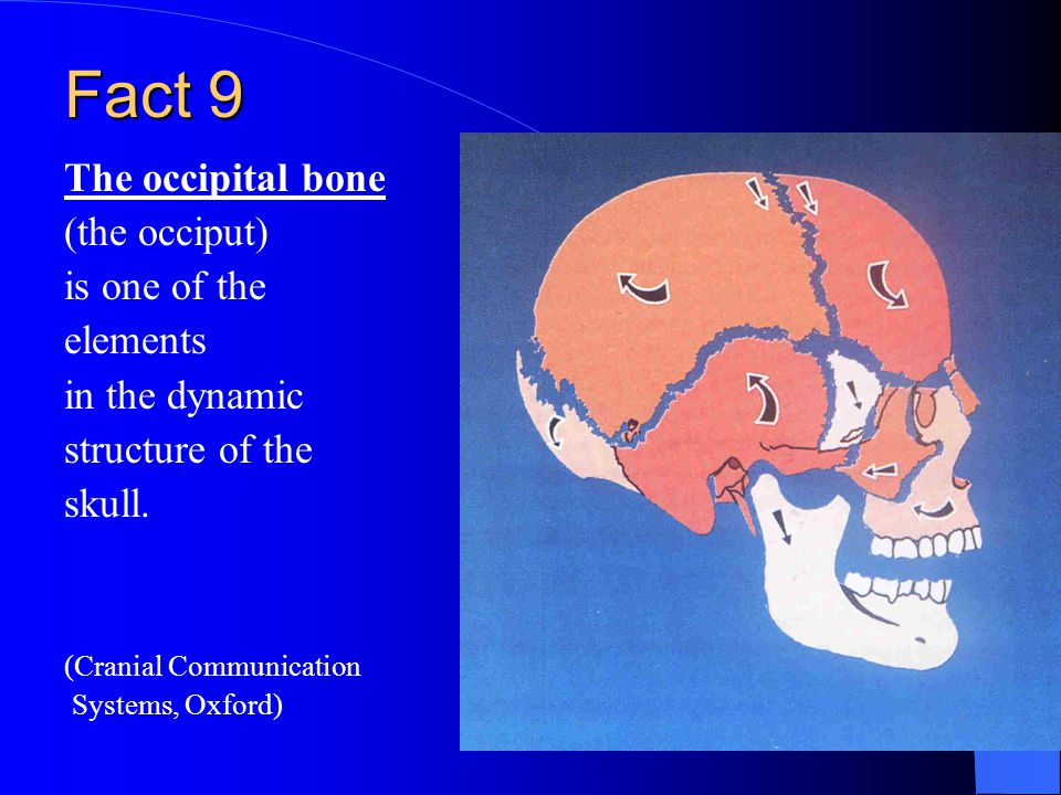 Fact 9 The occipital bone (the occiput) is one of the elements in the dynamic structure of the skull.
