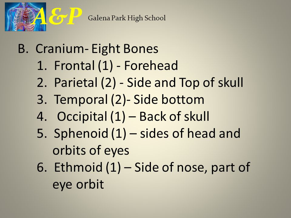 B. Cranium- Eight Bones 1. Frontal (1) - Forehead 2. Parietal (2) - Side and Top of skull 3. Temporal (2)- Side bottom 4. Occipital (1) – Back of skul