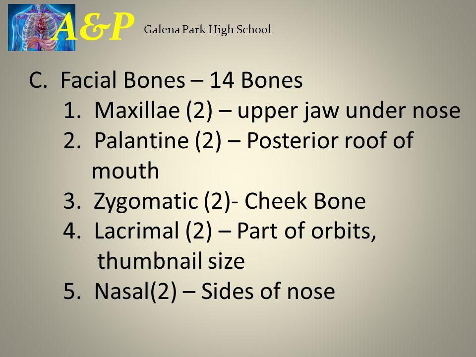 C. Facial Bones – 14 Bones 1. Maxillae (2) – upper jaw under nose 2. Palantine (2) – Posterior roof of mouth 3. Zygomatic (2)- Cheek Bone 4. Lacrimal