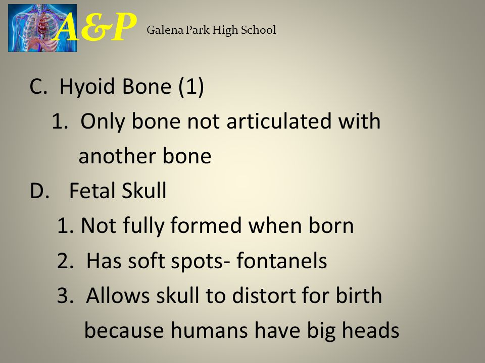 C. Hyoid Bone (1) 1. Only bone not articulated with another bone D.Fetal Skull 1. Not fully formed when born 2. Has soft spots- fontanels 3. Allows sk