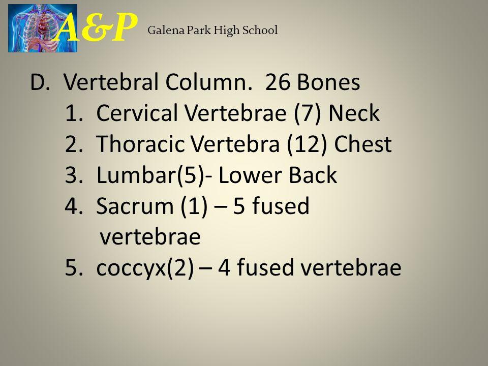 D. Vertebral Column. 26 Bones 1. Cervical Vertebrae (7) Neck 2. Thoracic Vertebra (12) Chest 3. Lumbar(5)- Lower Back 4. Sacrum (1) – 5 fused vertebra