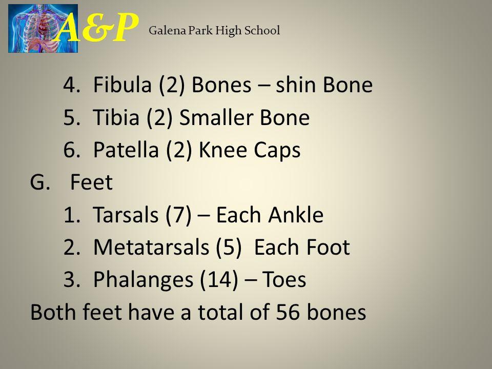 4. Fibula (2) Bones – shin Bone 5. Tibia (2) Smaller Bone 6. Patella (2) Knee Caps G.Feet 1. Tarsals (7) – Each Ankle 2. Metatarsals (5) Each Foot 3.