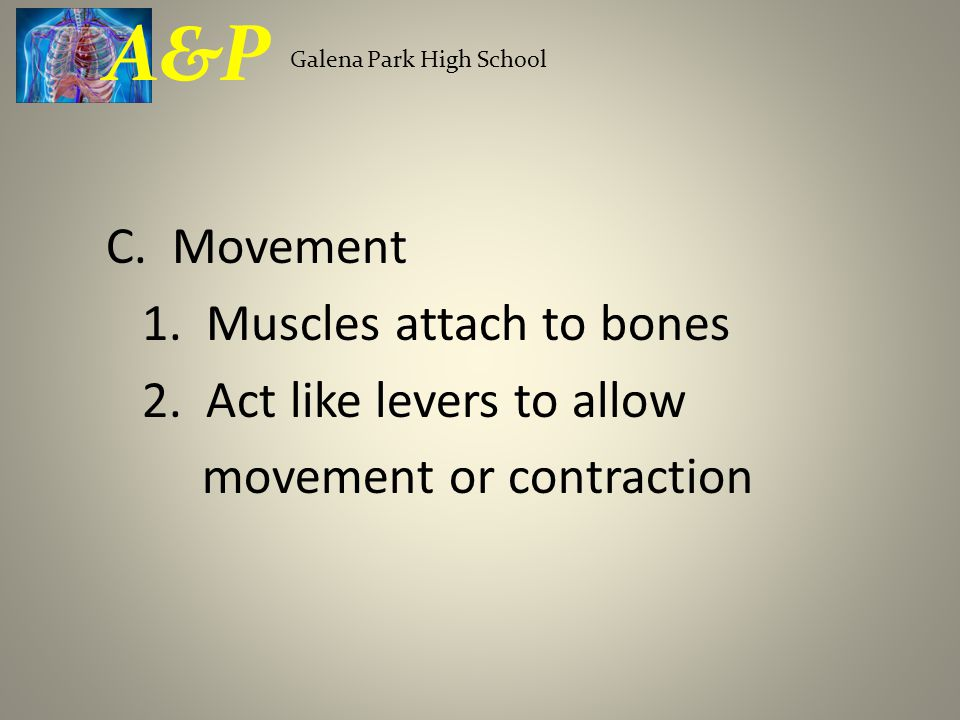 C. Movement 1. Muscles attach to bones 2. Act like levers to allow movement or contraction Galena Park High School A&P