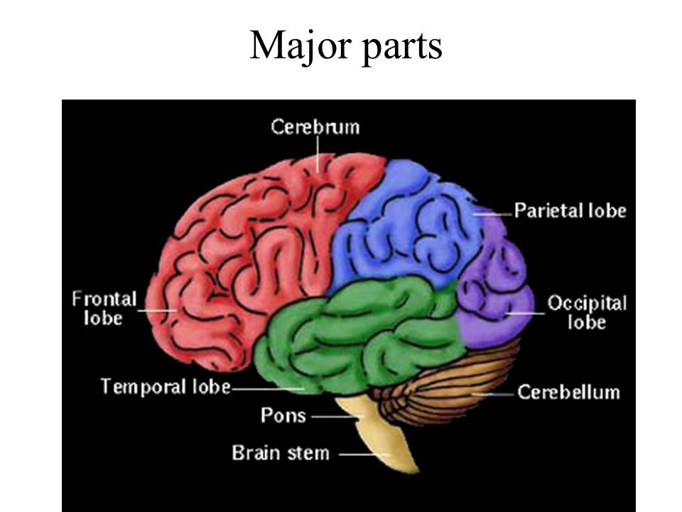 Brain stem Mid brain: Nerve pathway of cerebral hemispheres/Auditory and Visual reflex centers Pons: Respiratory Center Medulla Oblongata: Crossing of motor tracts/Cardiac Center/Respiratory Center