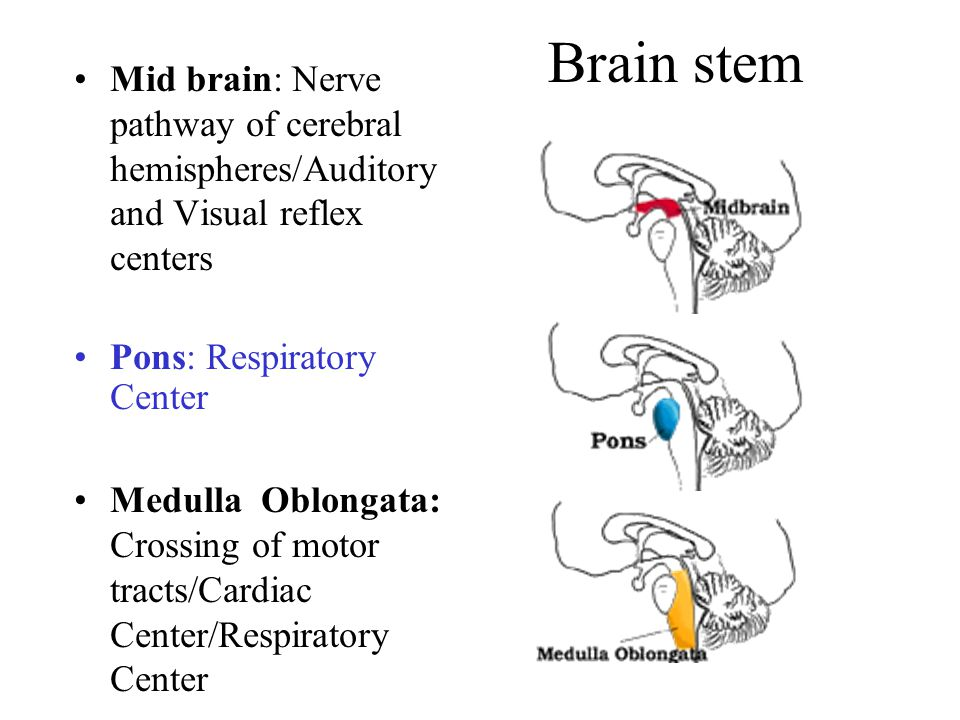 Cerebellum – Plays a role in commands for motor action Organization of action including language production Integrates information from external and internal sources Toates p119 Major parts